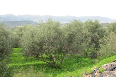Недвижимость на о.Крит . Участок за городом площадью 4000 кв.м.
